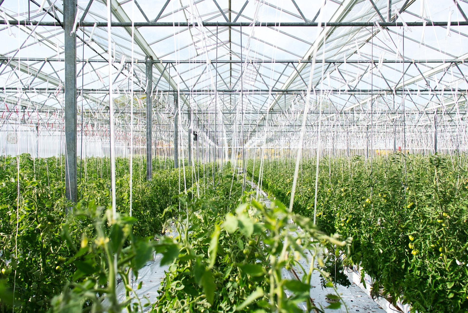 Gartneri med tomatplanter
